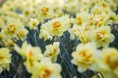 Flores de narcisos Fotografía de archivo