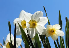 Flores de narcisos Fotografía de archivo libre de regalías