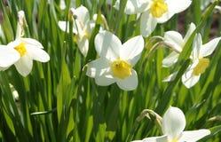 Flores de narcisos Imagen de archivo