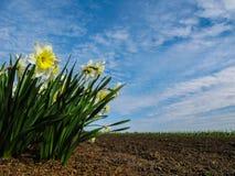 Flores de narcisos el la primavera fotografía de archivo