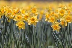 Flores de narcisos, en el parque de Showa Kinen, Tokio, Japón Imagenes de archivo