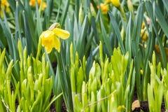 Flores de Narsissus no jardim Fotografia de Stock