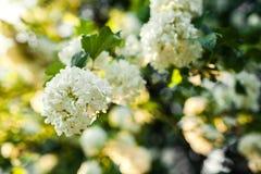 Flores de neige do Boule Viburnum na flor Jardim de florescência Foto de Stock