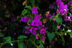 Flores de noite cor-de-rosa Imagens de Stock