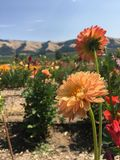 Flores de Oregon Imagen de archivo libre de regalías