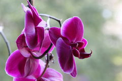 Flores de Orhid - rosa Foto de Stock