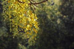 Flores de oro de la ducha Fotografía de archivo libre de regalías