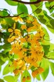 Flores de oro de la ducha Imágenes de archivo libres de regalías