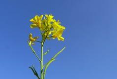 Flores de oro de la violación Foto de archivo