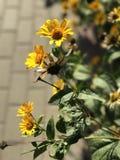 Flores de oro en las calles de Odessa, Ucrania Imagen de archivo libre de regalías