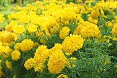 Flores de oro de la maravilla Foto de archivo libre de regalías