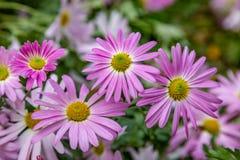 Flores de Osteospermum imagens de stock