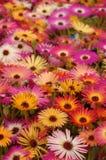 Flores de Osteospermum imagem de stock