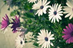 Flores de Osteospermum en Sunny Day Foto de archivo