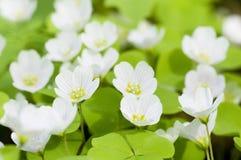 Flores de Oxalis Imágenes de archivo libres de regalías