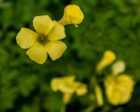 Flores de Oxalis en jardín Imagen de archivo