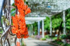 Flores de Palas Flor do monosperma do Bute Imagem de Stock Royalty Free