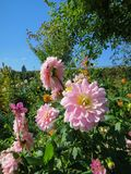 Flores de Pale Pink Dahlia en Monet Garden Fotografía de archivo libre de regalías