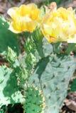 Flores de Pale Yellow Prickly Pear Cactus fotos de archivo