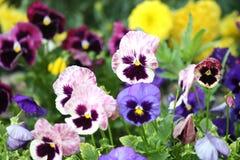 Flores de Pansie Imagen de archivo libre de regalías