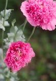 Flores de papoilas cor-de-rosa dobro incomuns no jardim, de abelhas e de zangões que recolhem a não-estrela imagem de stock