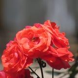 Flores de Paquistán Fotografía de archivo libre de regalías