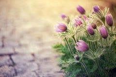 Flores de Pasque Imágenes de archivo libres de regalías