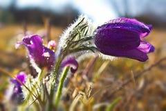 Flores de pasque púrpuras en primavera Imagen de archivo libre de regalías