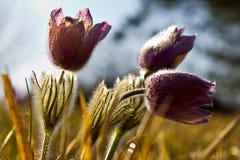 Flores de pasque púrpuras en primavera Imagenes de archivo