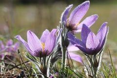 Flores de pasque púrpuras en primavera Foto de archivo libre de regalías