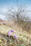 Flores de pasque salvajes Imagen de archivo libre de regalías