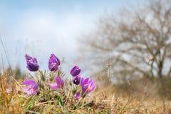 Flores de pasque salvajes Fotografía de archivo