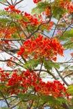 Flores de pavão Foto de Stock
