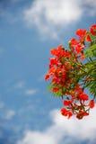 Flores de pavão Imagens de Stock