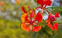 Flores de pavão Imagens de Stock Royalty Free