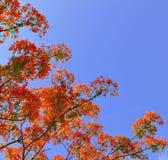 Flores de pavão bonitas com céu azul Foto de Stock