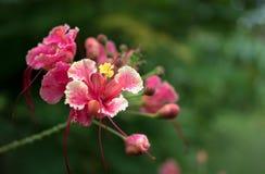 Flores de pavo real Imagen de archivo