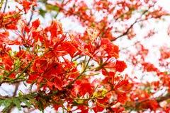 Flores de pavo real Imagenes de archivo