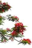 Flores de pavo real Imagen de archivo libre de regalías