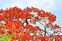 Flores de pavo real Foto de archivo
