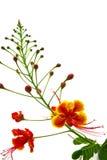 Flores de pavo real aisladas. Fotos de archivo