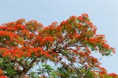Flores de pavo real en árbol del poinciana Imagen de archivo