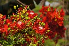 Flores de pavo real en luz del sol Foto de archivo libre de regalías