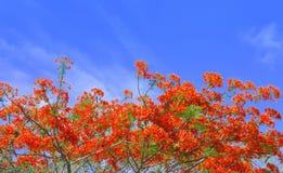 Flores de pavo real hermosas con el cielo azul Fotos de archivo