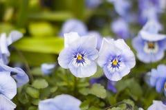 Flores de pensamientos Foto de archivo libre de regalías