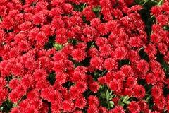 Flores de pequeños crisantemos rojos Fondo natural hermoso de plantas ornamentales Decoración de premisas y de parques Otoño c fotografía de archivo libre de regalías