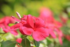 Flores de Pericuinkle Foto de archivo libre de regalías