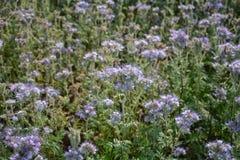 Flores de Phacelia de la lila en el campo Foto de archivo libre de regalías