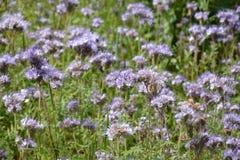 Flores de Phacelia de la lila en el campo Foto de archivo