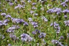 Flores de Phacelia en el campo Imágenes de archivo libres de regalías